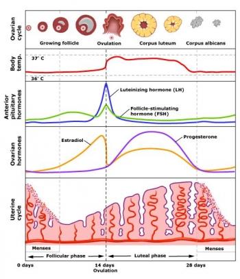 hormonal_cycle