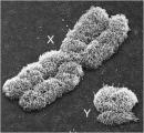 chromosomes_xy_1